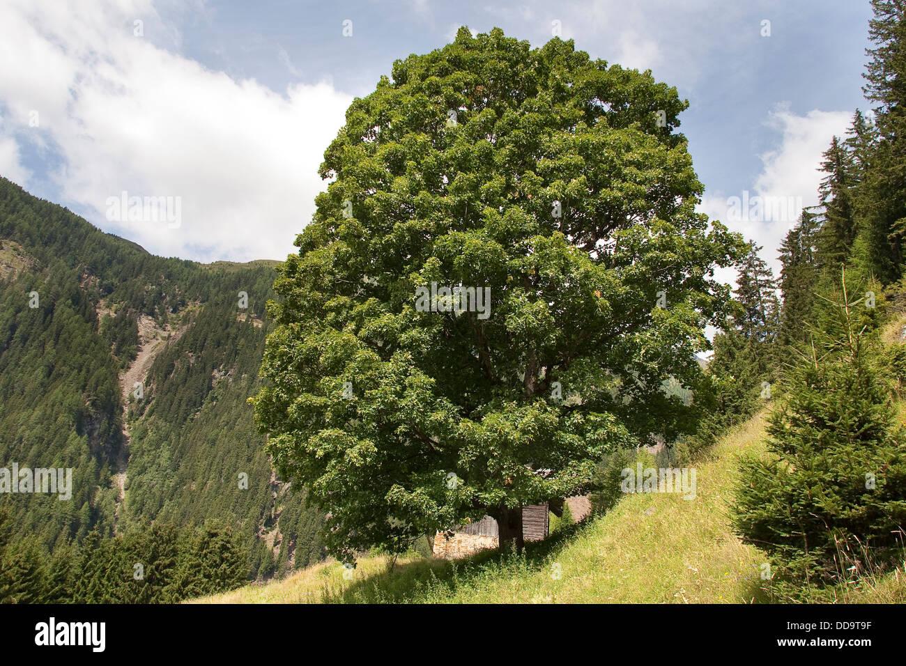 Sycamore, Erable sycomore, maple, Bergahorn, Berg-Ahorn, Ahorn, Acer pseudoplatanus Stock Photo