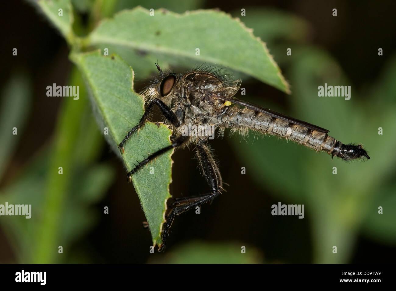Robberfly, robber-fly, Robberflies, Berg-Raubfliege, Bergraubfliege, Raubfliege, Raubfliegen, Strauchdieb, Didysmachus - Stock Image
