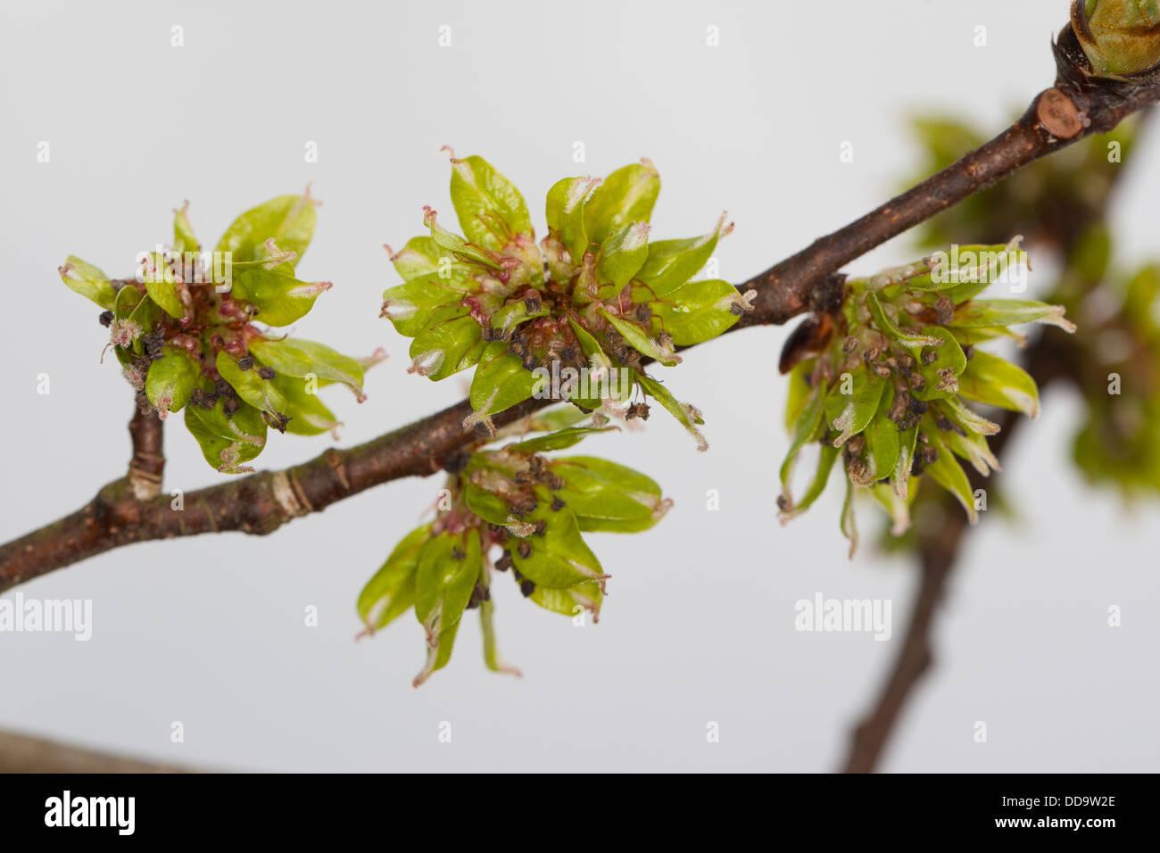 Wych Elm, Scots Elm, blossoms, Berg-Ulme, Bergulme, Blüten, Ulme, Ulmus glabra, Ulmus scabra, Ulmus montana - Stock Image