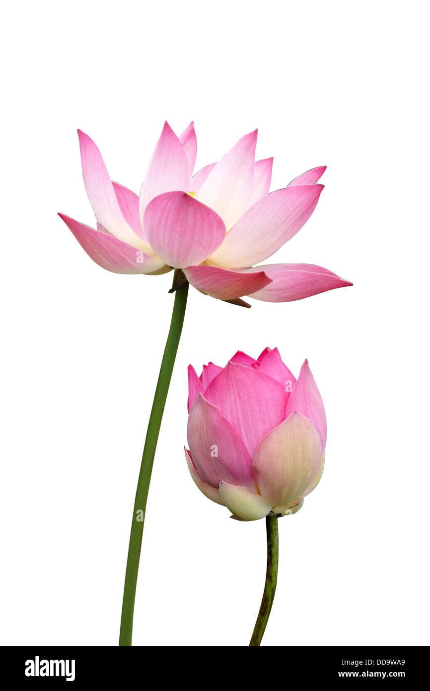 lotus on isolate white background. - Stock Image