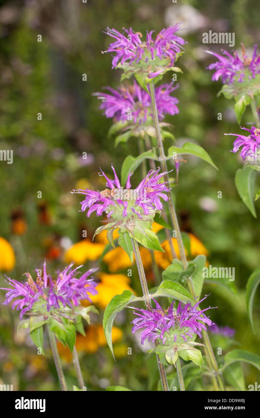 Wild bergamot, bee balm, Wilde Bergamotte, Wilde Indianernessel, Wilde Monarde, Monarda fistulosa - Stock Image
