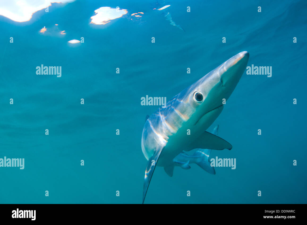 A blue shark (Prionace glauca) off the coast of Cornwall Stock Photo