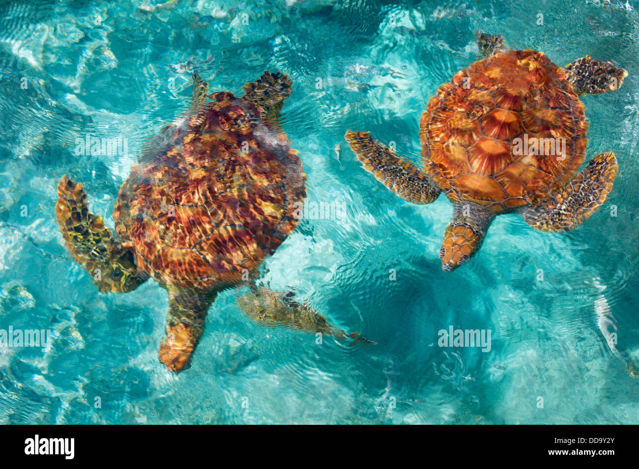 Green Sea Turtles. Bora Bora. French Polynesia. - Stock Image
