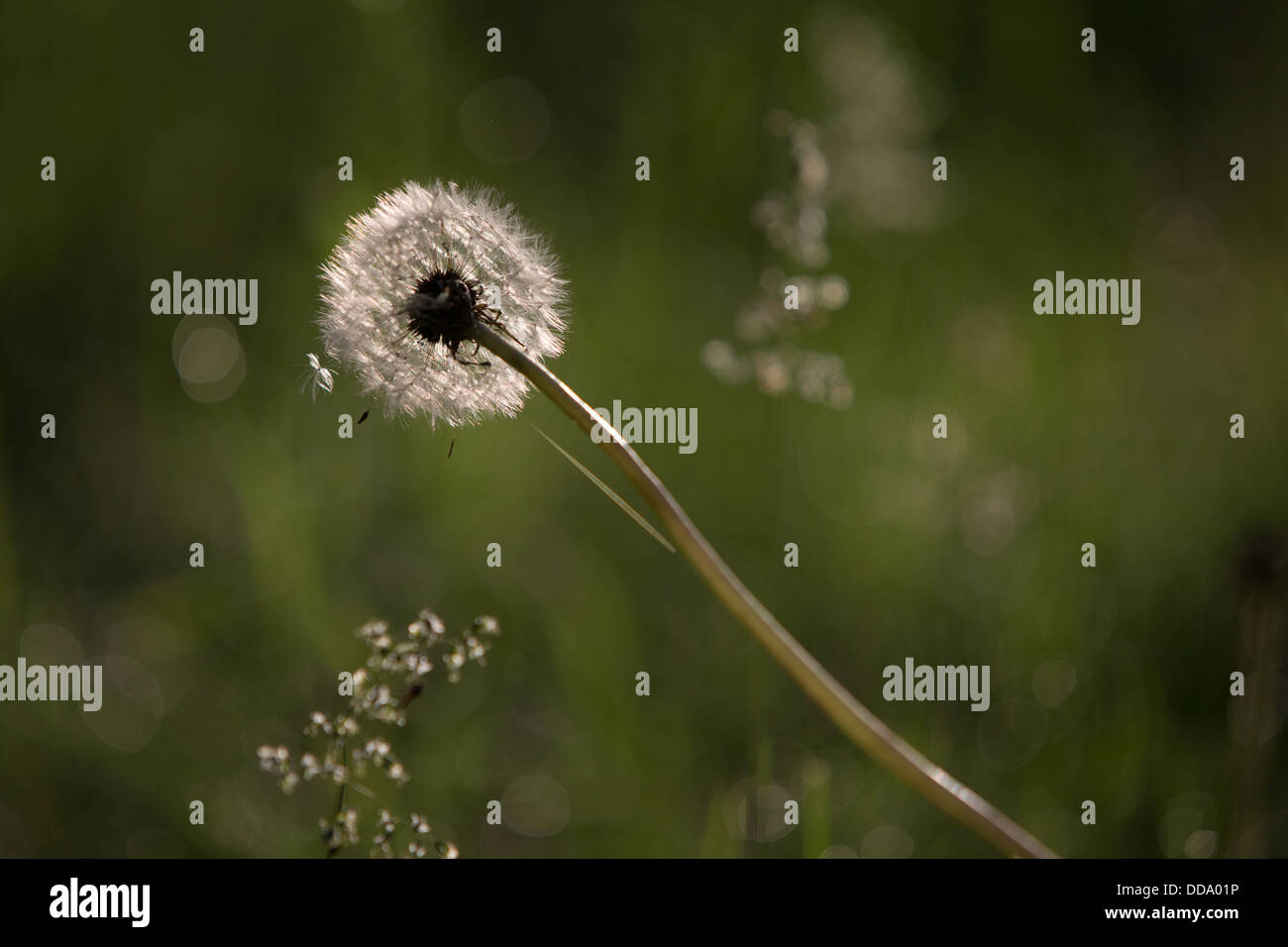 A lonely dandelion that has seen better days... - Stock Image
