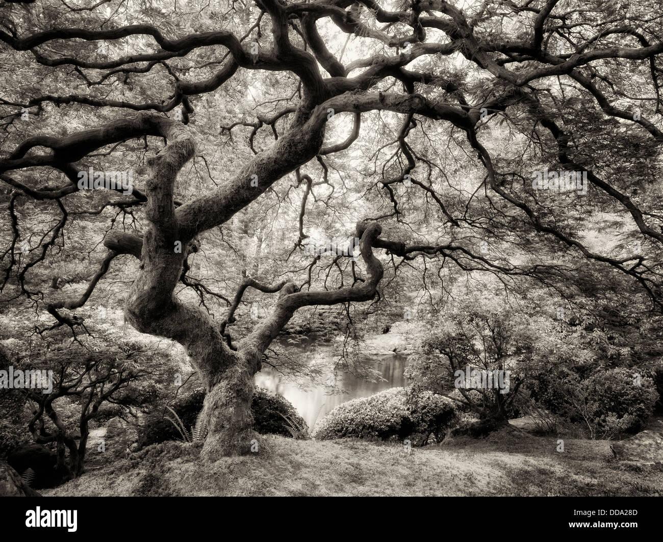 Japanese Maple tree with new growth. Portland Japanese Garden, Oregon - Stock Image