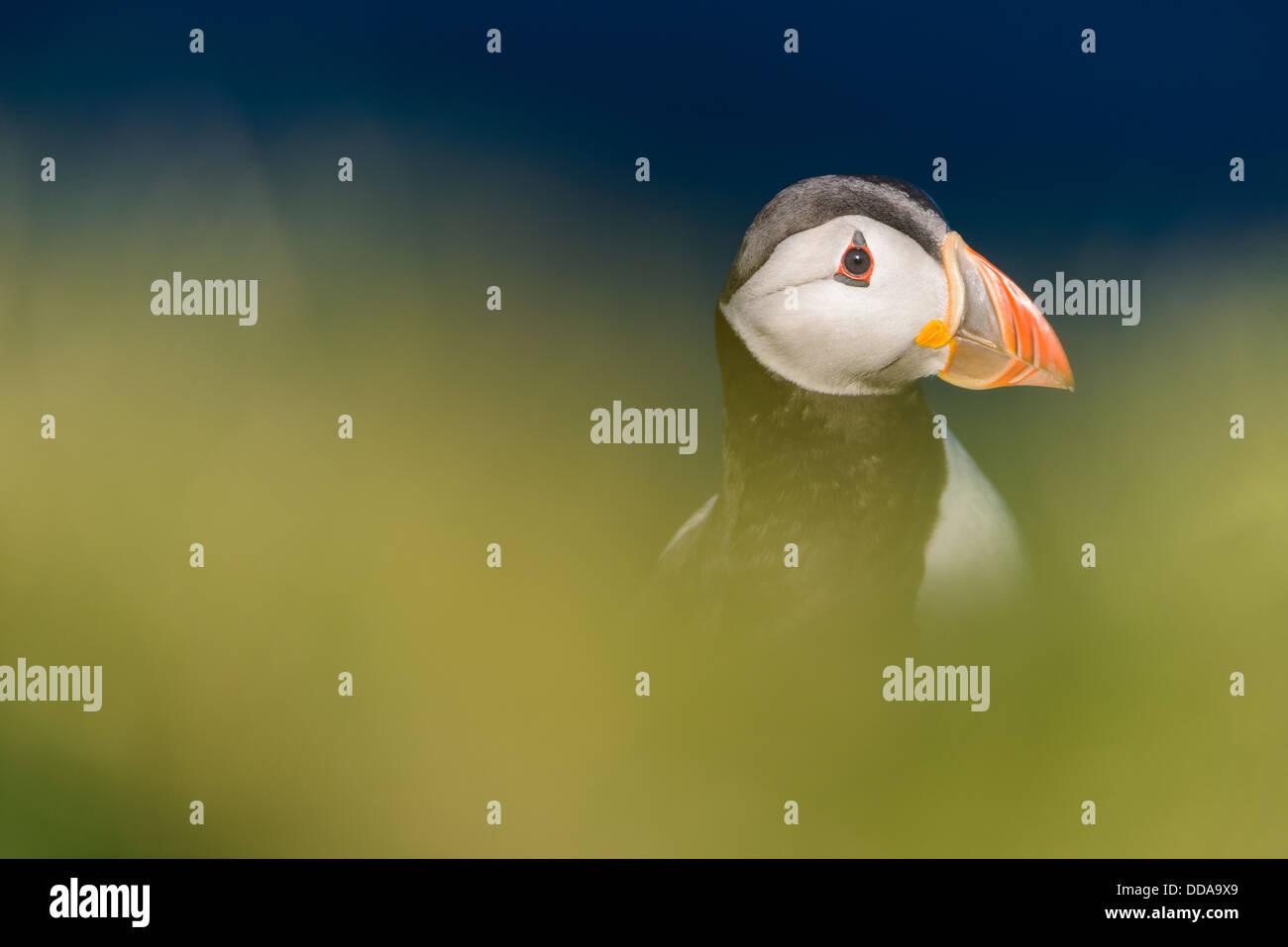 Puffin headshot, Mykines, Faroe Islands - Stock Image