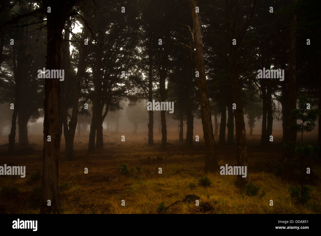 Laurel forest in fog, El Hierro, Canary Islands, Spain, Europe Stock Photo