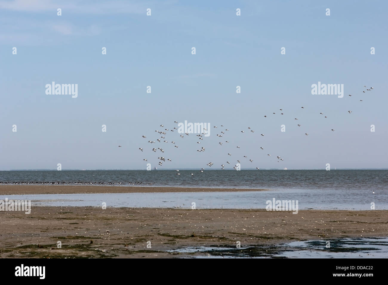 Salt marsh with oystercatchers on the Wadden island Griend, Netherlands - Stock Image