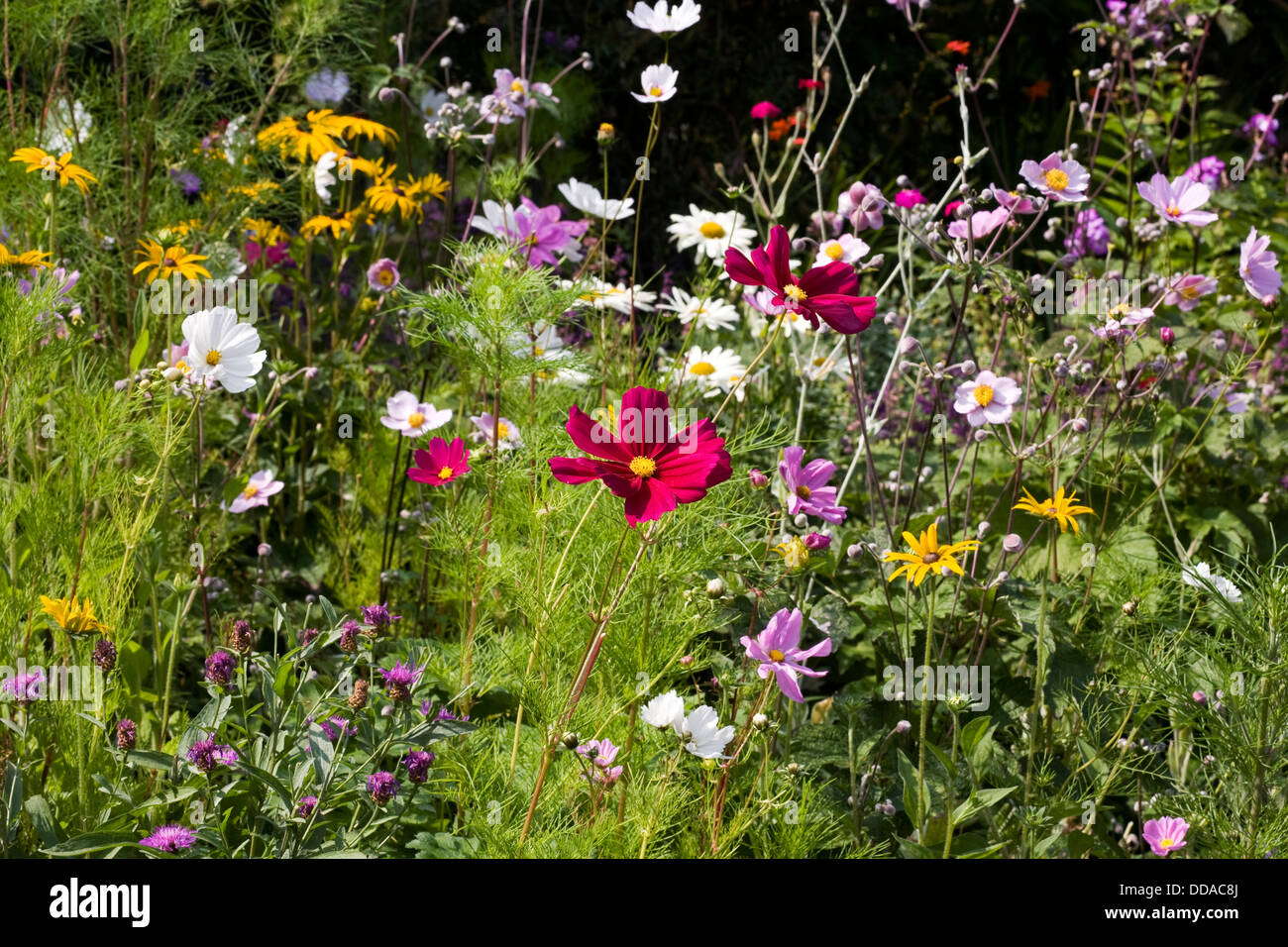 Flowers in an English cottage garden. - Stock Image