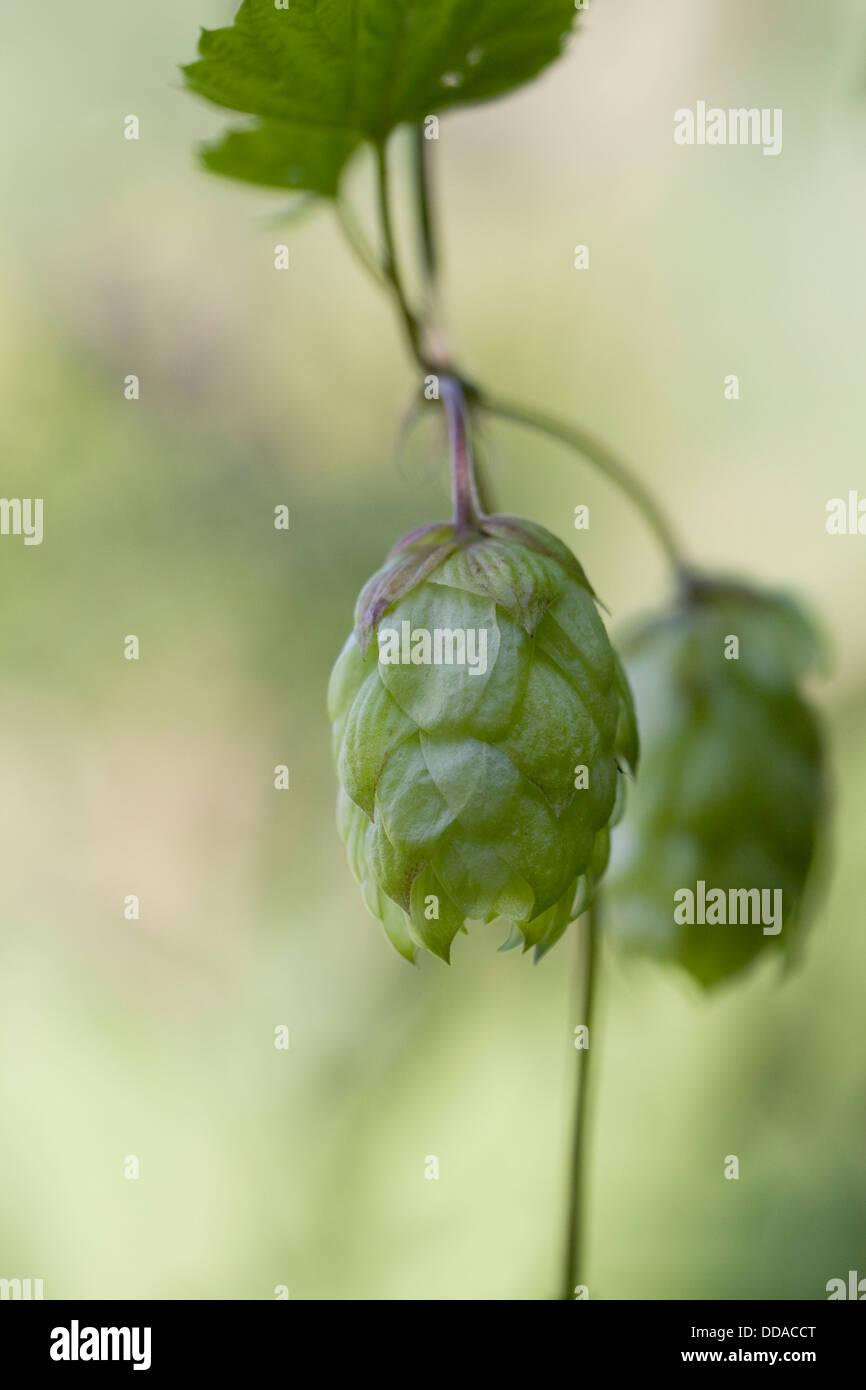 Humulus lupulus. Hop flower. - Stock Image