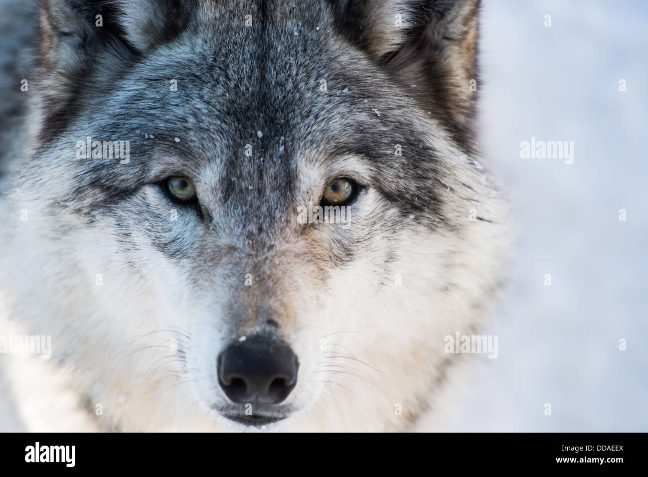 Wolf looking straight ahead - Stock Image