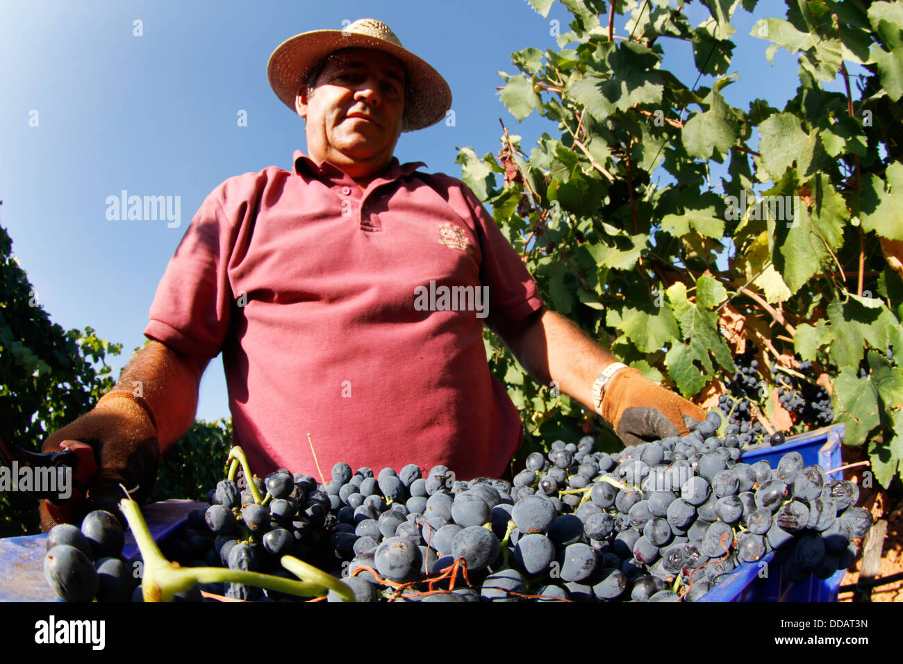 Grapes harvest in the Spanish island of Mallorca Stock Photo
