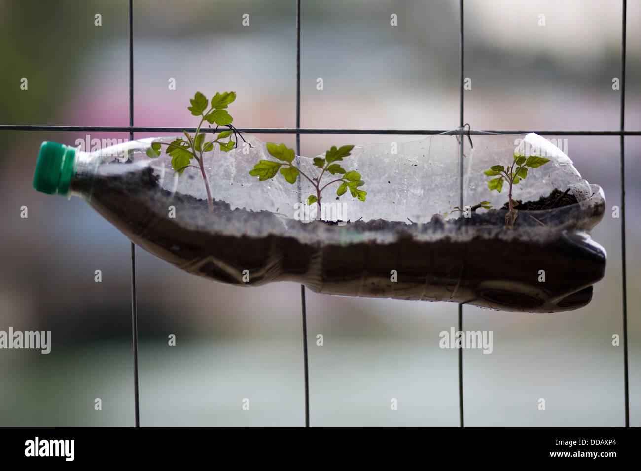 Plastic Bottle with Seedlings growing in it attached to a fence, Inventive way to recycle - Stock Image