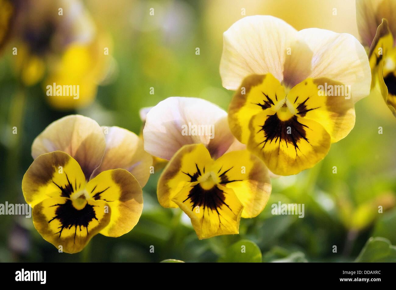 Three Similar Yellow Pansy Flowers Viola X Wittrockiana Stock Photo