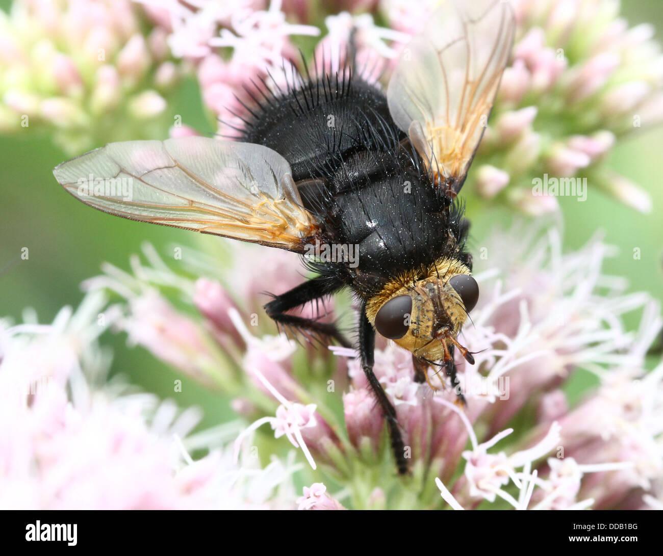 Giant tachinid fly (Tachina grossa) feeding on a hemp-agrimony flower Stock Photo