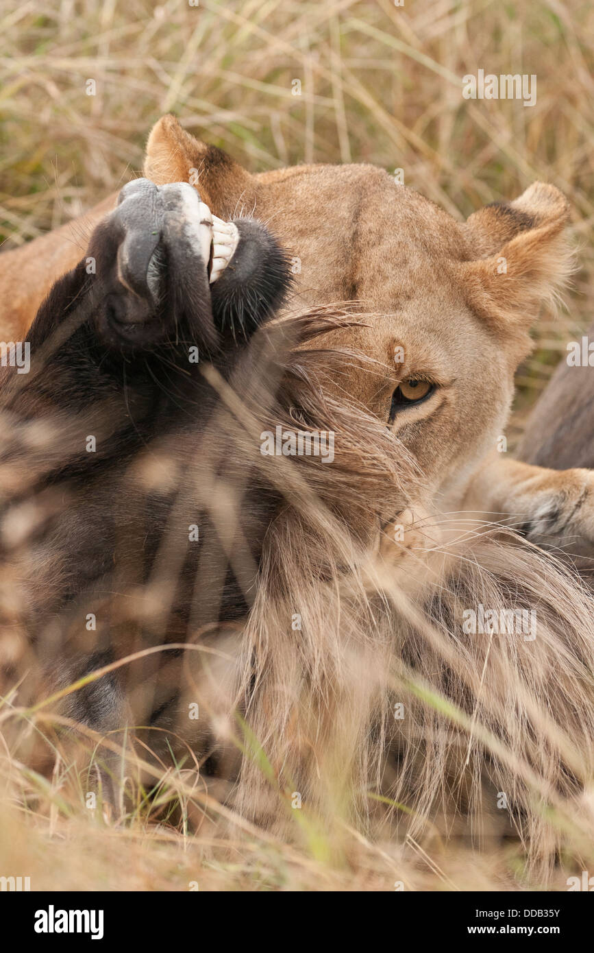 Death grip. Lioness suffocates her prey. - Stock Image