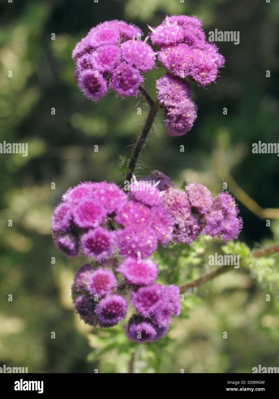 Ageratum conyzoides weed, Asteraceae, ageratum. Herbaceous annual from American tropics, cultivated as ornamental - Stock Image