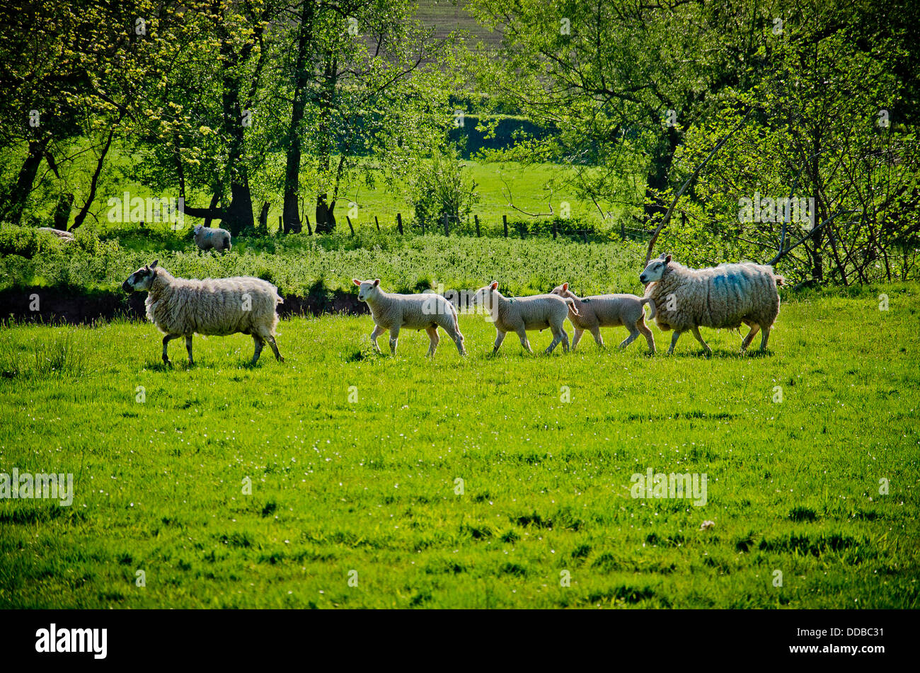 Sheep and lambs walk through a spring meadow - Stock Image