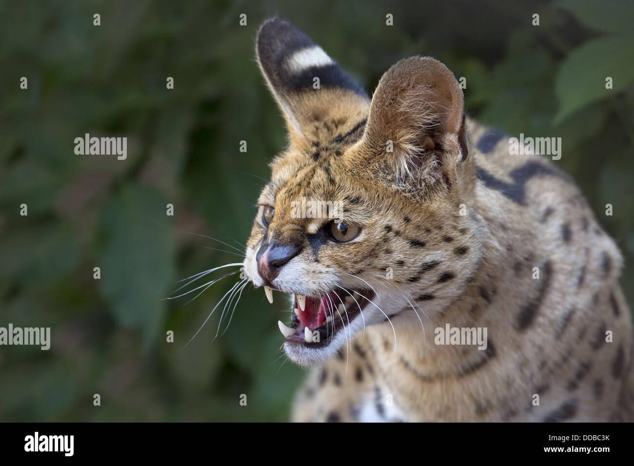 Serval, snarling - Stock Image