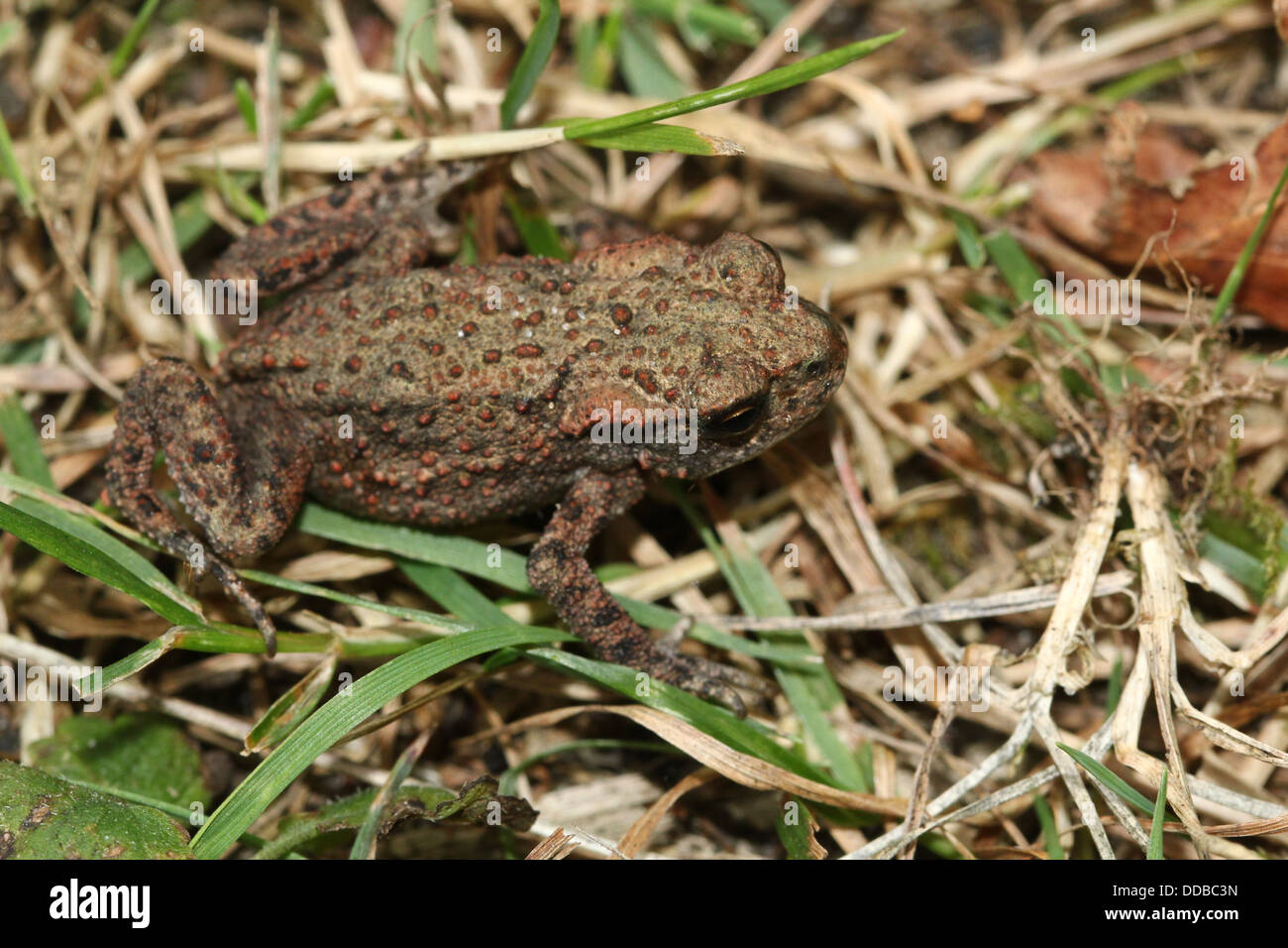 Common Toad (Bufo Bufo) posing in the grass Stock Photo