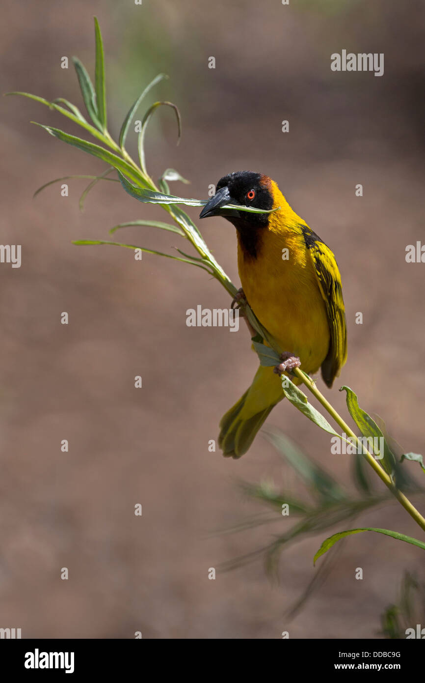 Male Black-headed Weaver with nest material - Stock Image