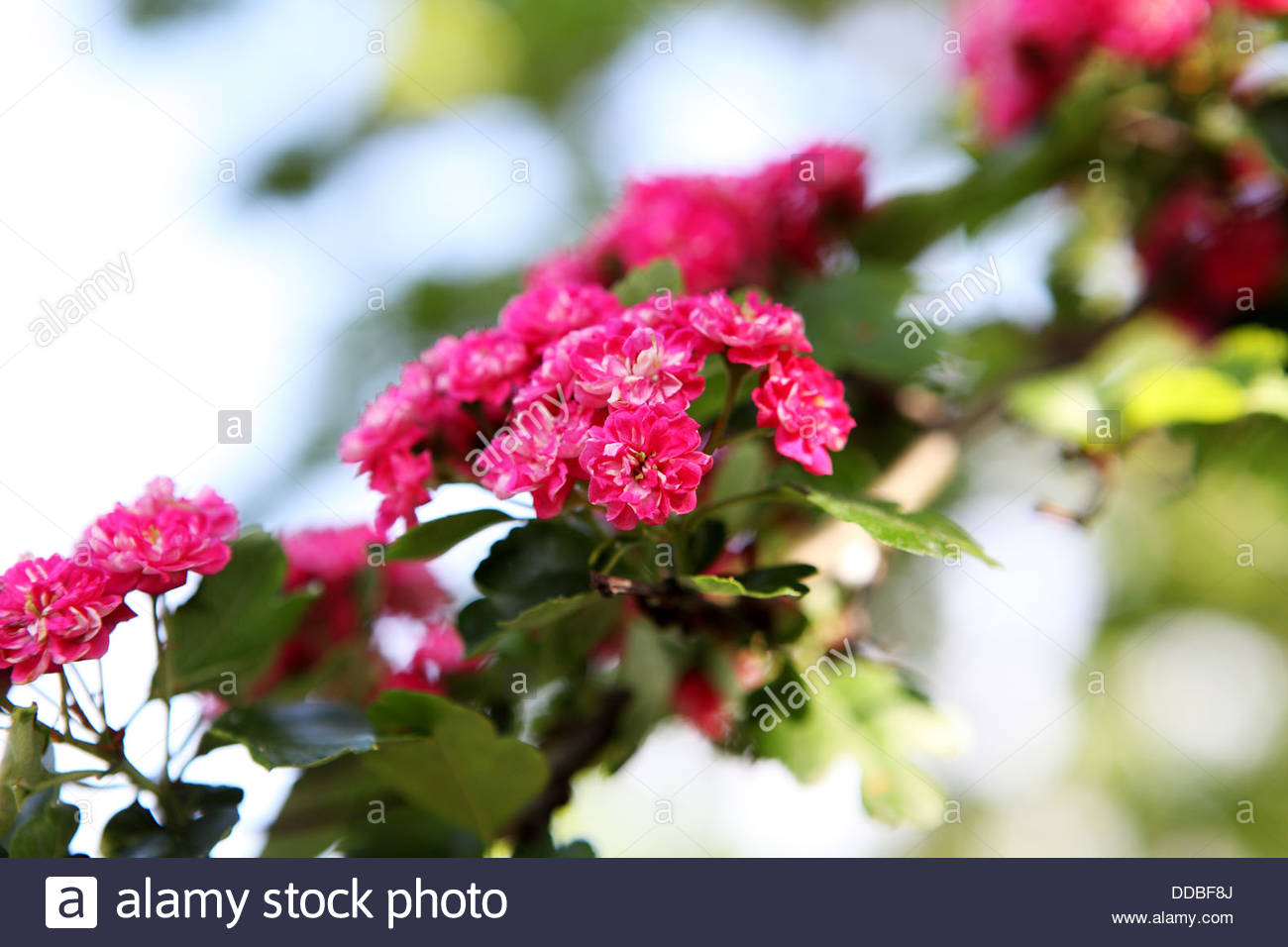 Hawthorn branch with pink blossom - Stock Image