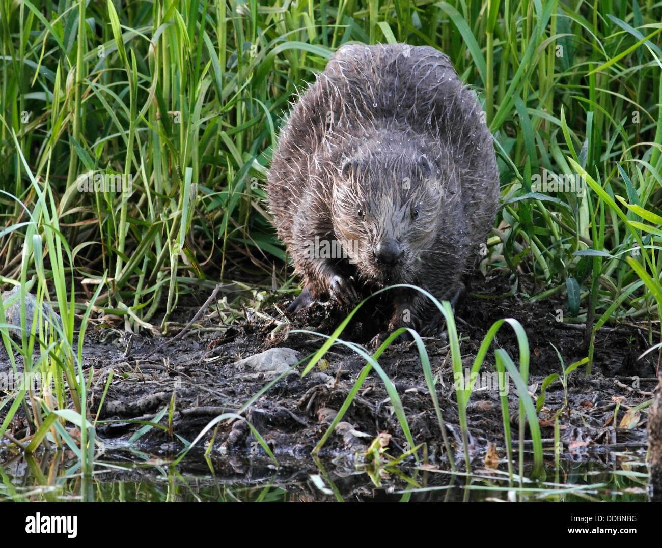 Beaver Castoridae Gnesta Sweden. Stock Photo