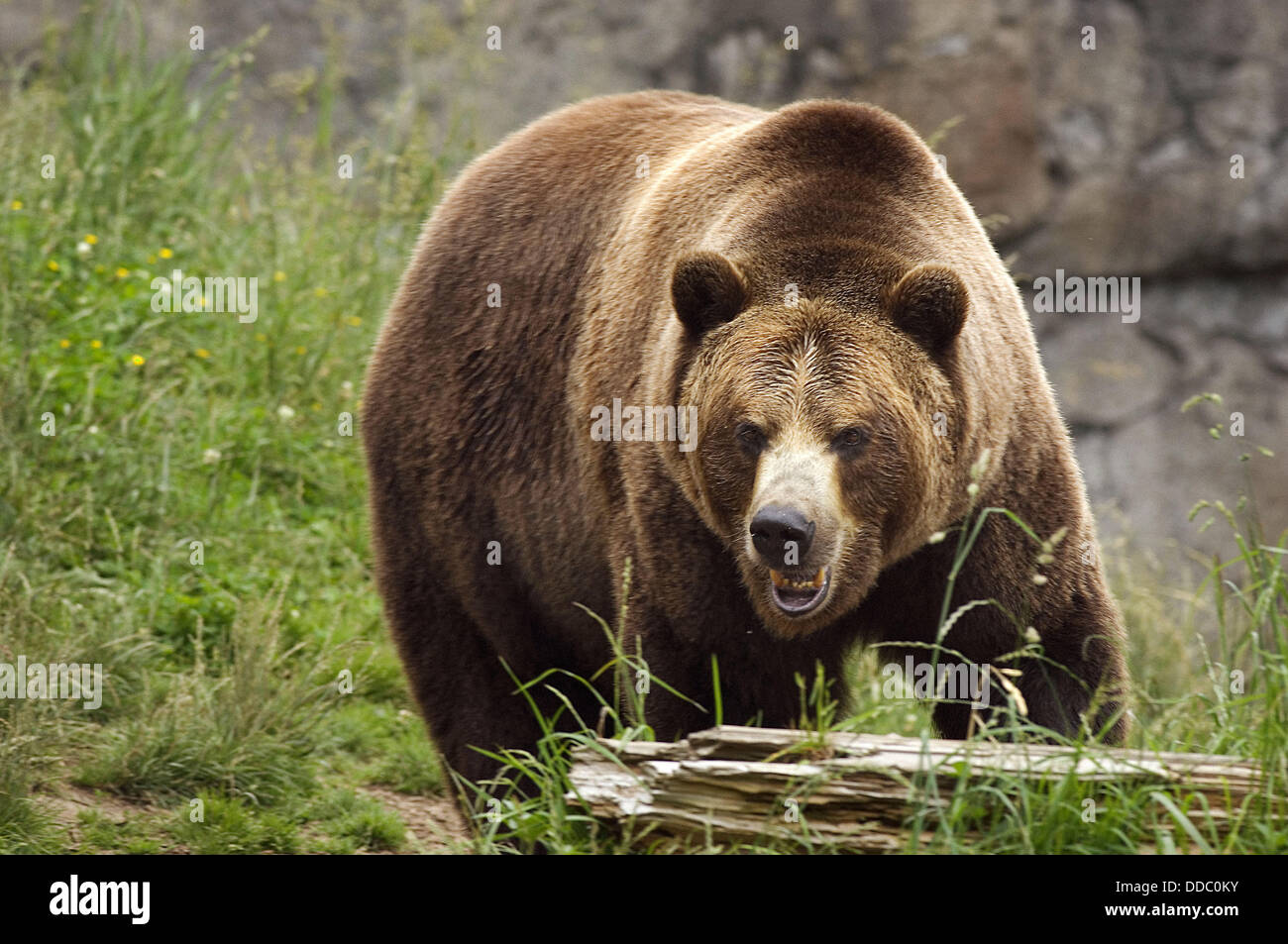 A charging grizzly bear is a frightening sight - Stock Image