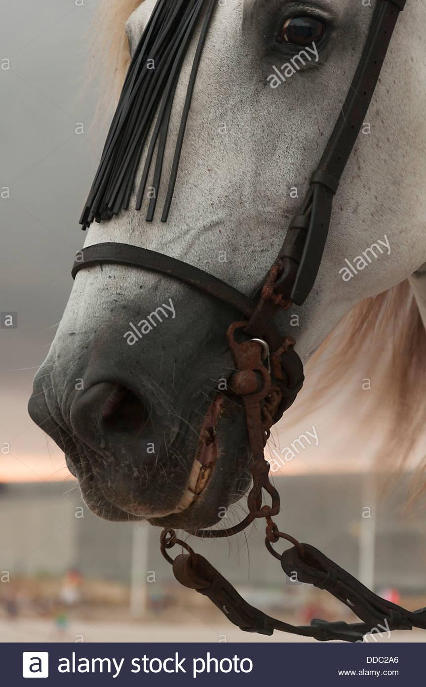White horse portrait - Stock Image