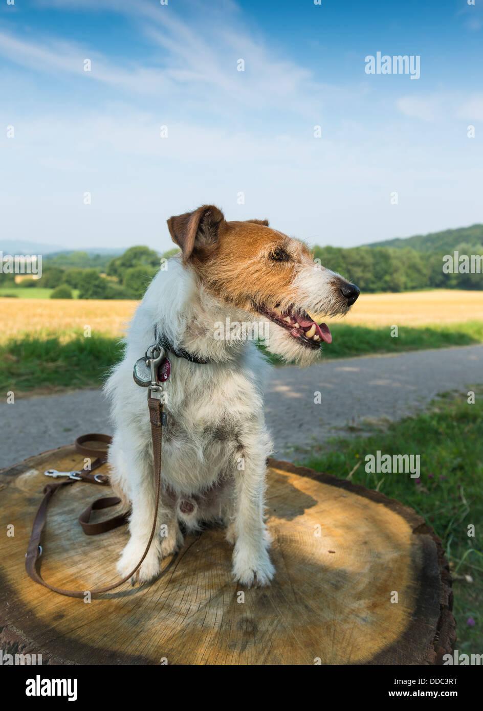 Jack Russell Terrier Sat on Tree Stump - Stock Image