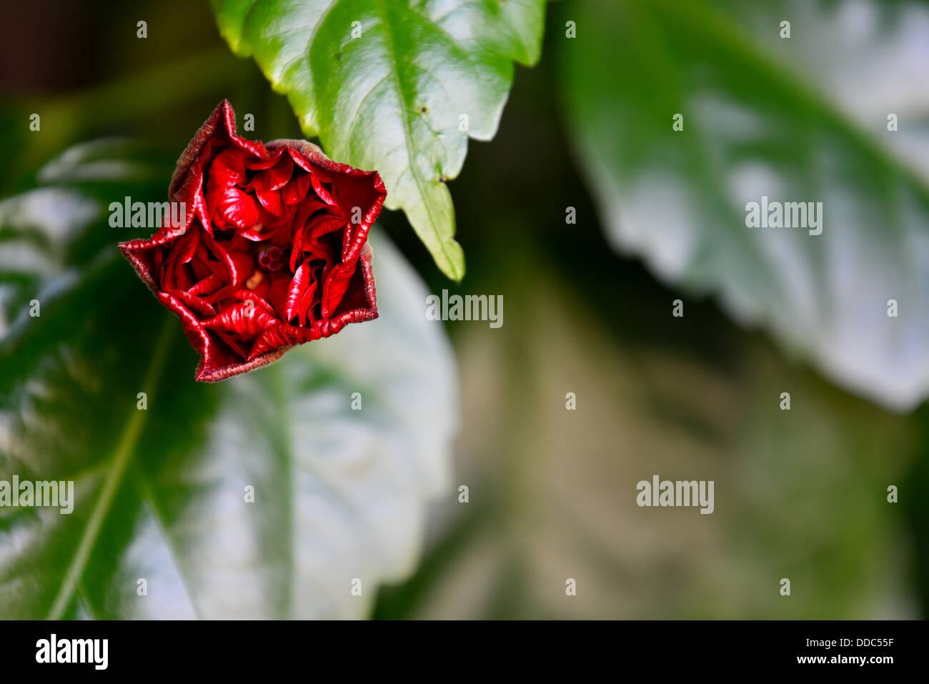 Flower bud of the red rose of sudan hibiscus stock photo 59889131 flower bud of the red rose of sudan hibiscus izmirmasajfo