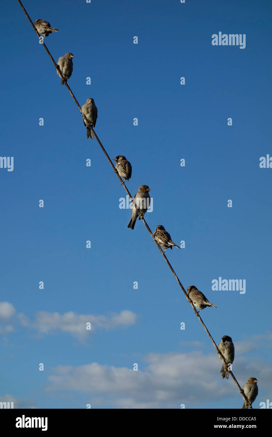 Sparrows perch aloft steep diagonally stretched wire rope - Stock Image