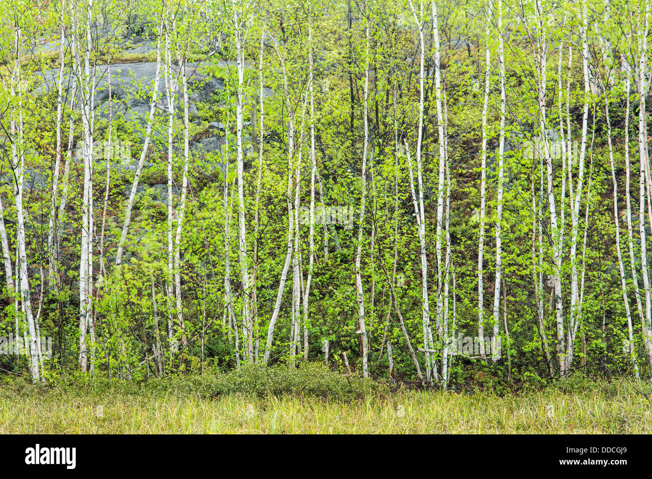A stand of birch trees in spring, Lively, Ontario, Canada. - Stock Image