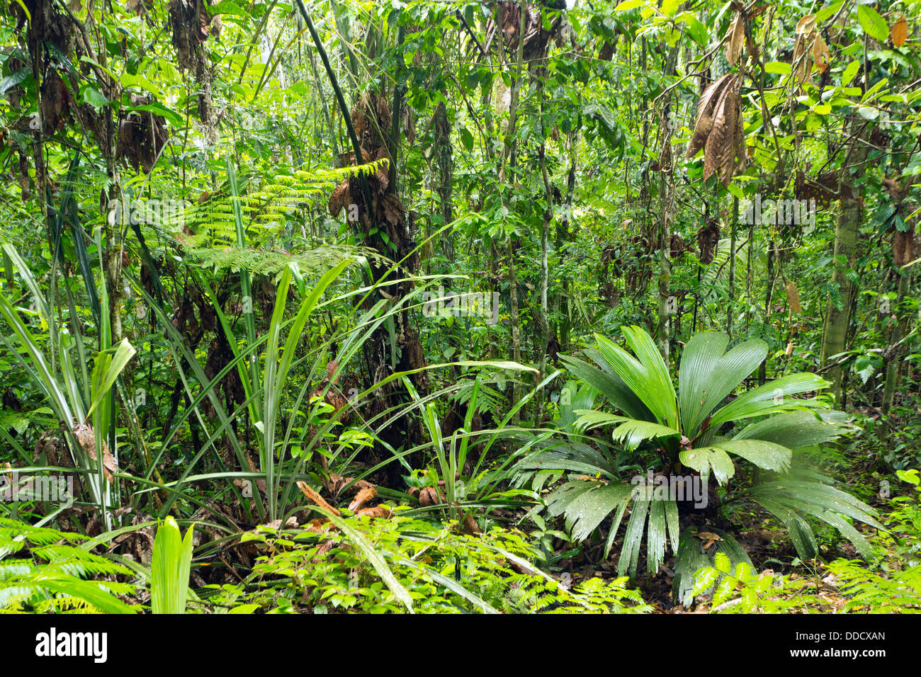 Rainforest glade with a Geonoma palm and giant sedge in foreground, Ecuador - Stock Image