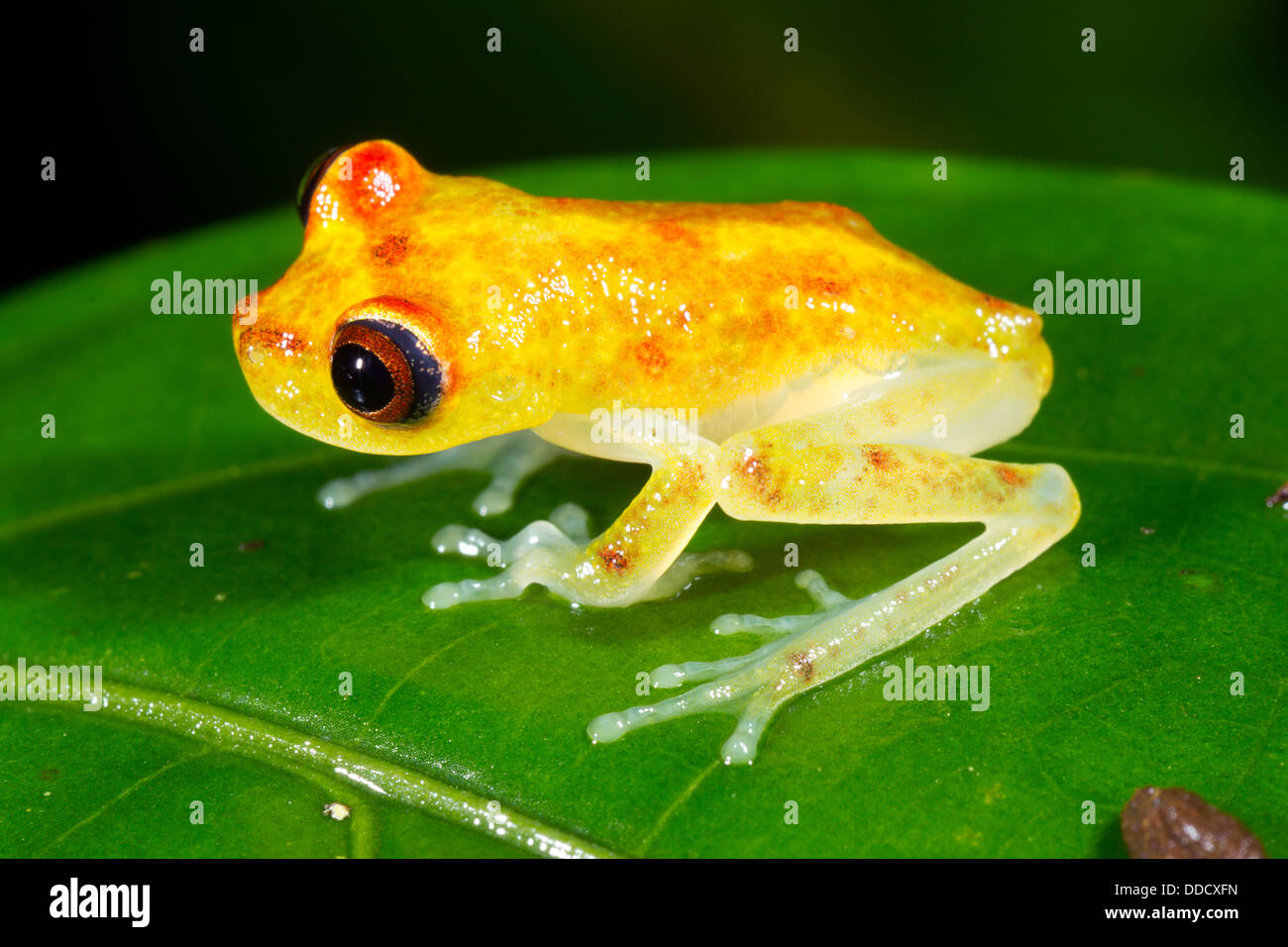 Juvenile Nymph Treefrog (Hypsiboas nympha) on a rainforest leaf, Ecuador Stock Photo