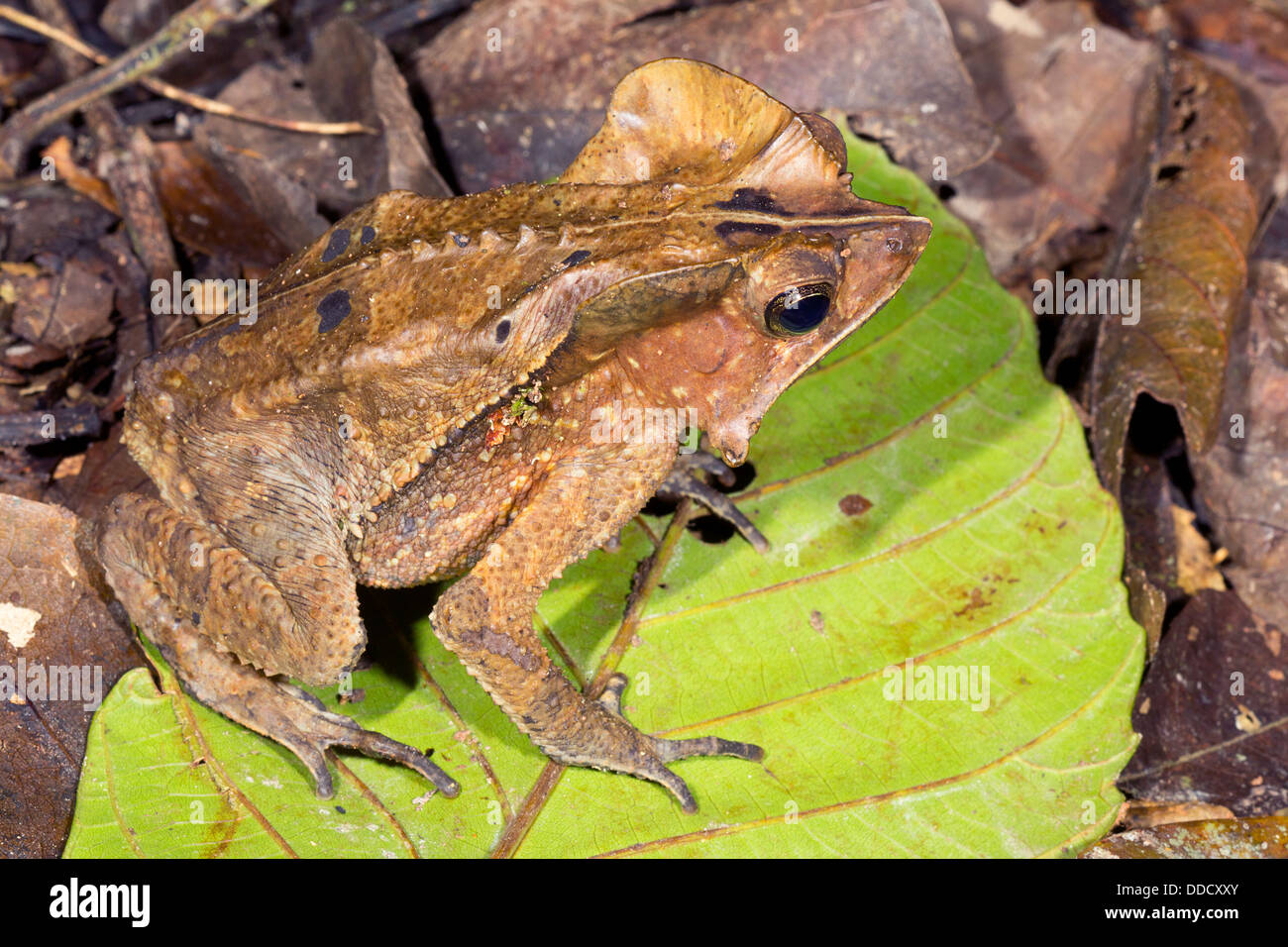 Crested Forest Toad (Rhinella margaritifer) on the rainforest floor, Ecuador - Stock Image