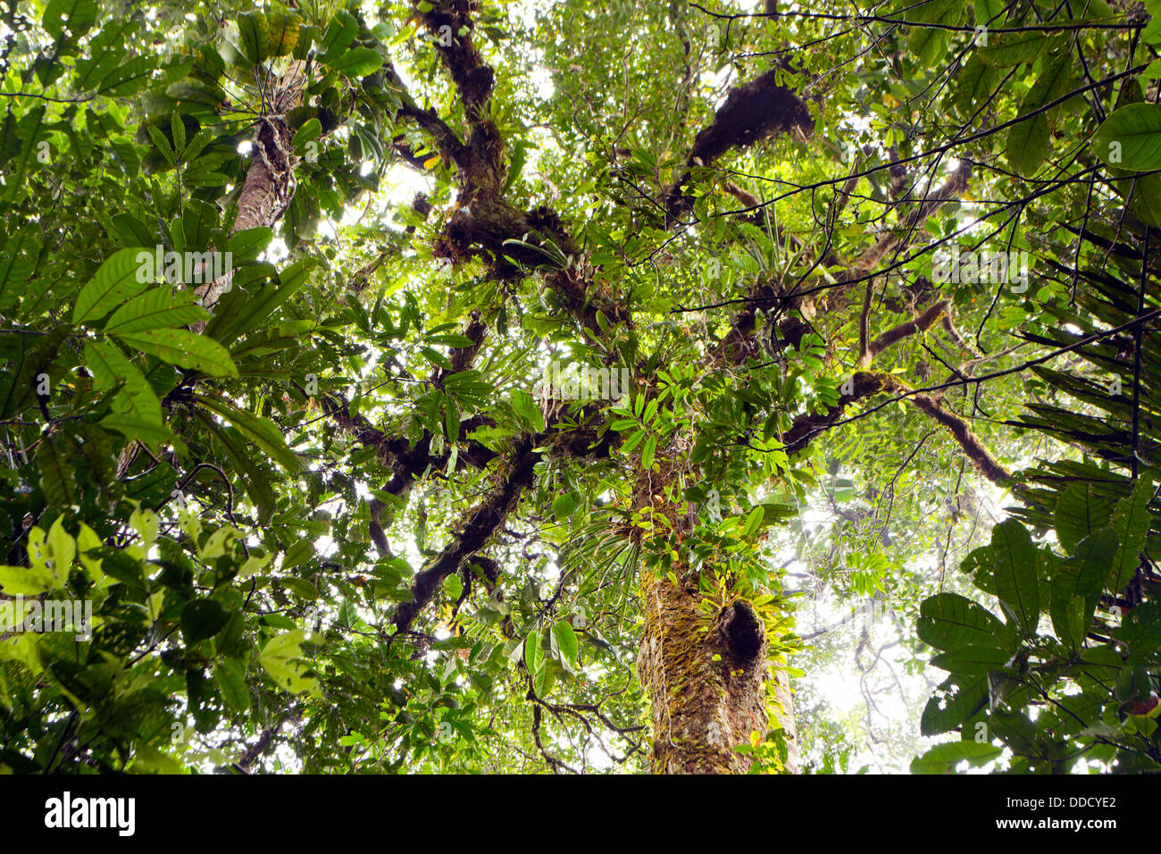 Looking upwards to the canopy of tropical rainforest in the Ecuadorian Amazon Stock Photo