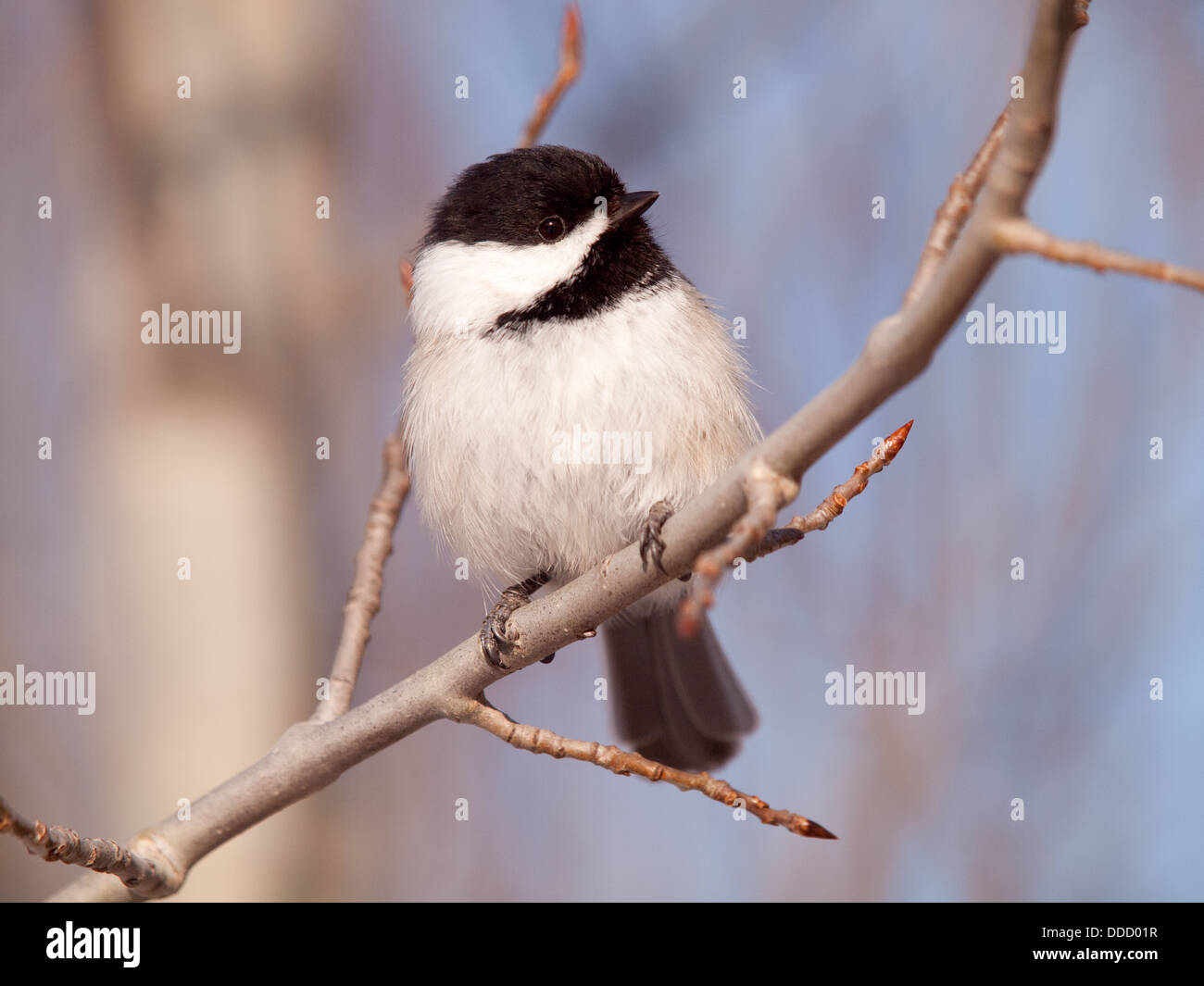 A cute, fluffy Black-capped chickadee. - Stock Image