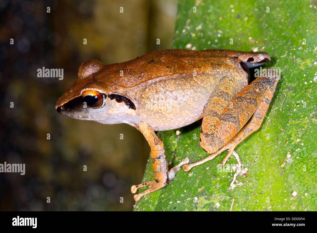 Peruvian Rain Frog (Pristimantis peruvianus). Male in calling position, ECuador - Stock Image