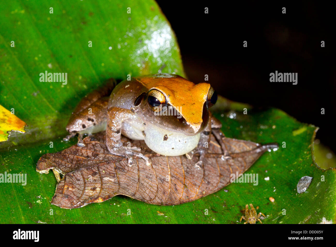 Peruvian Rain Frog (Pristimantis peruvianus) Male with inflated vocal sac looks at small grasshopper, Ecuador - Stock Image