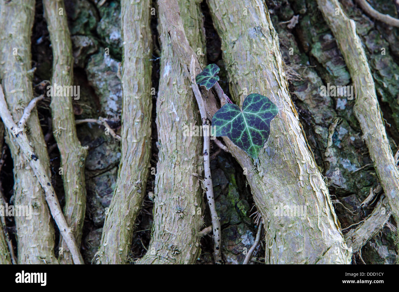 Common Ivy, closeup of a twisted plant on a big tree trunk. - Stock Image