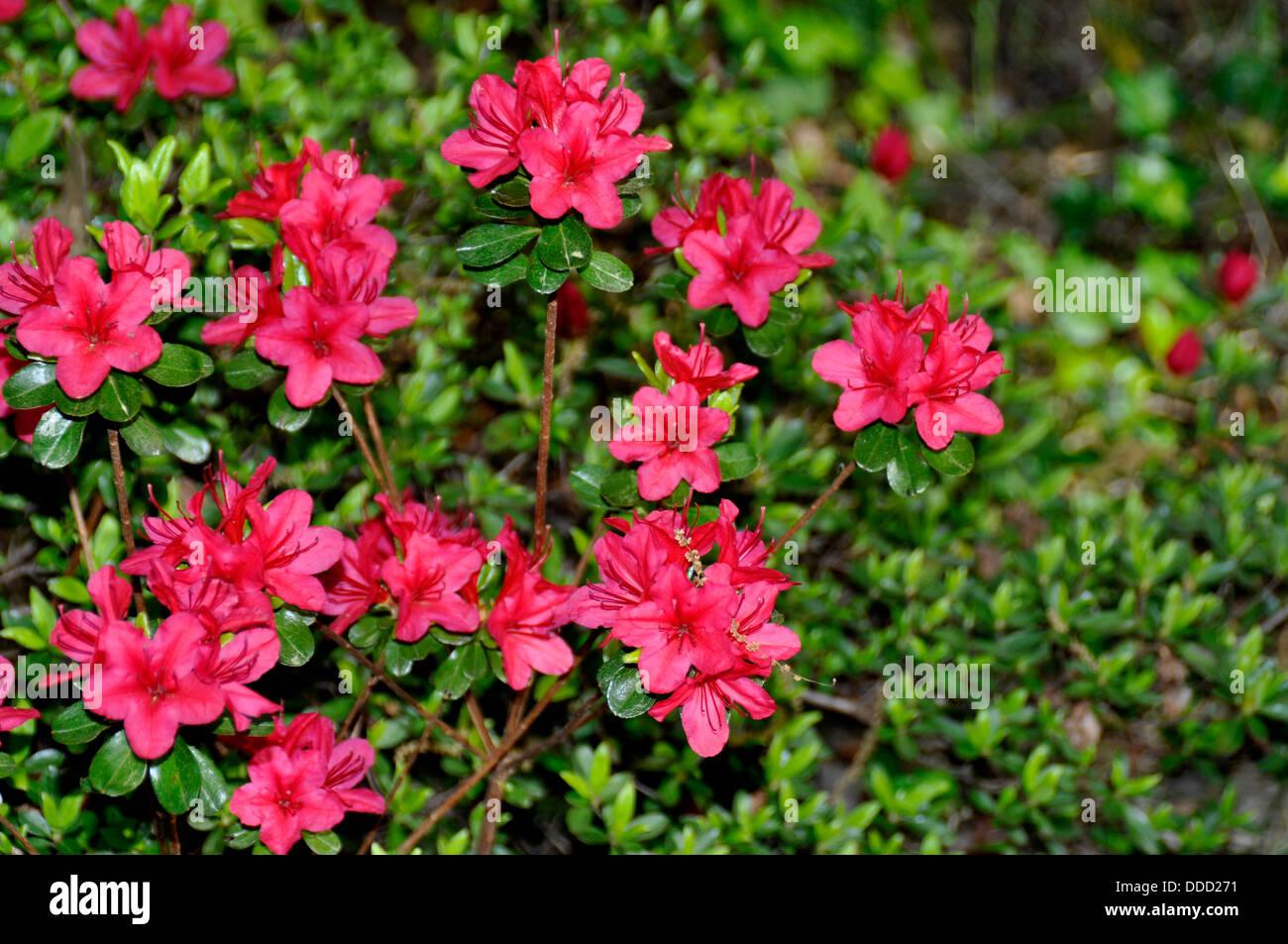 azaleas in bloom - Stock Image