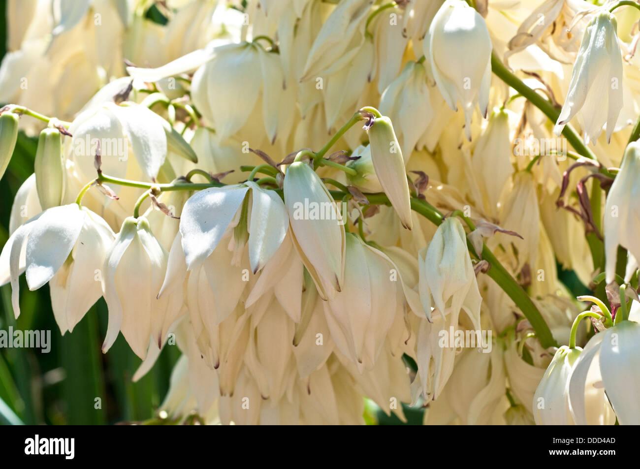 White flowering yucca plant yucca stock photos white flowering flowering yucca recurvifolia stock image mightylinksfo