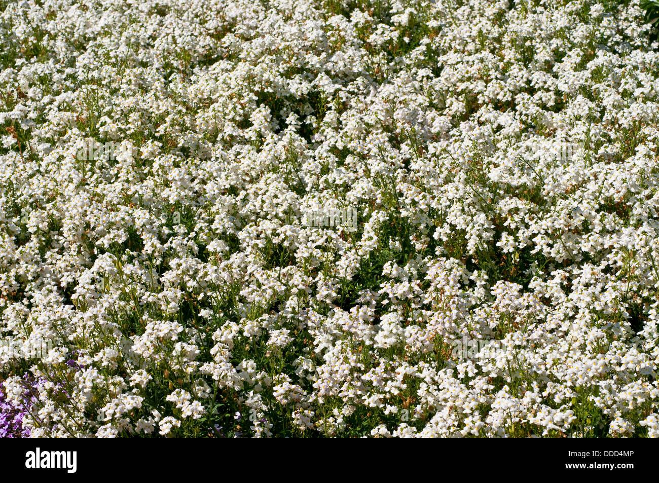 Plant nemesia stock photos plant nemesia stock images alamy summer flowerbed with nemesia poetry white flowers stock image mightylinksfo