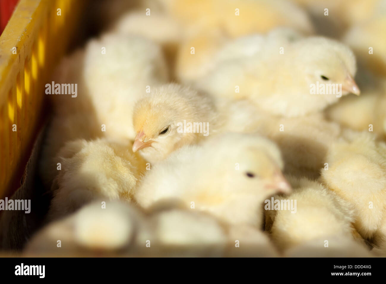 Young fledglings - Stock Image