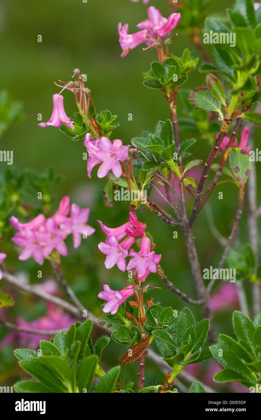 Hairy Alpen Rose, Rhododendron pubescent, Bewimperte Alpenrose, Behaarte Alpenrose, Almrausch, Rhododendron hirsutum - Stock Image