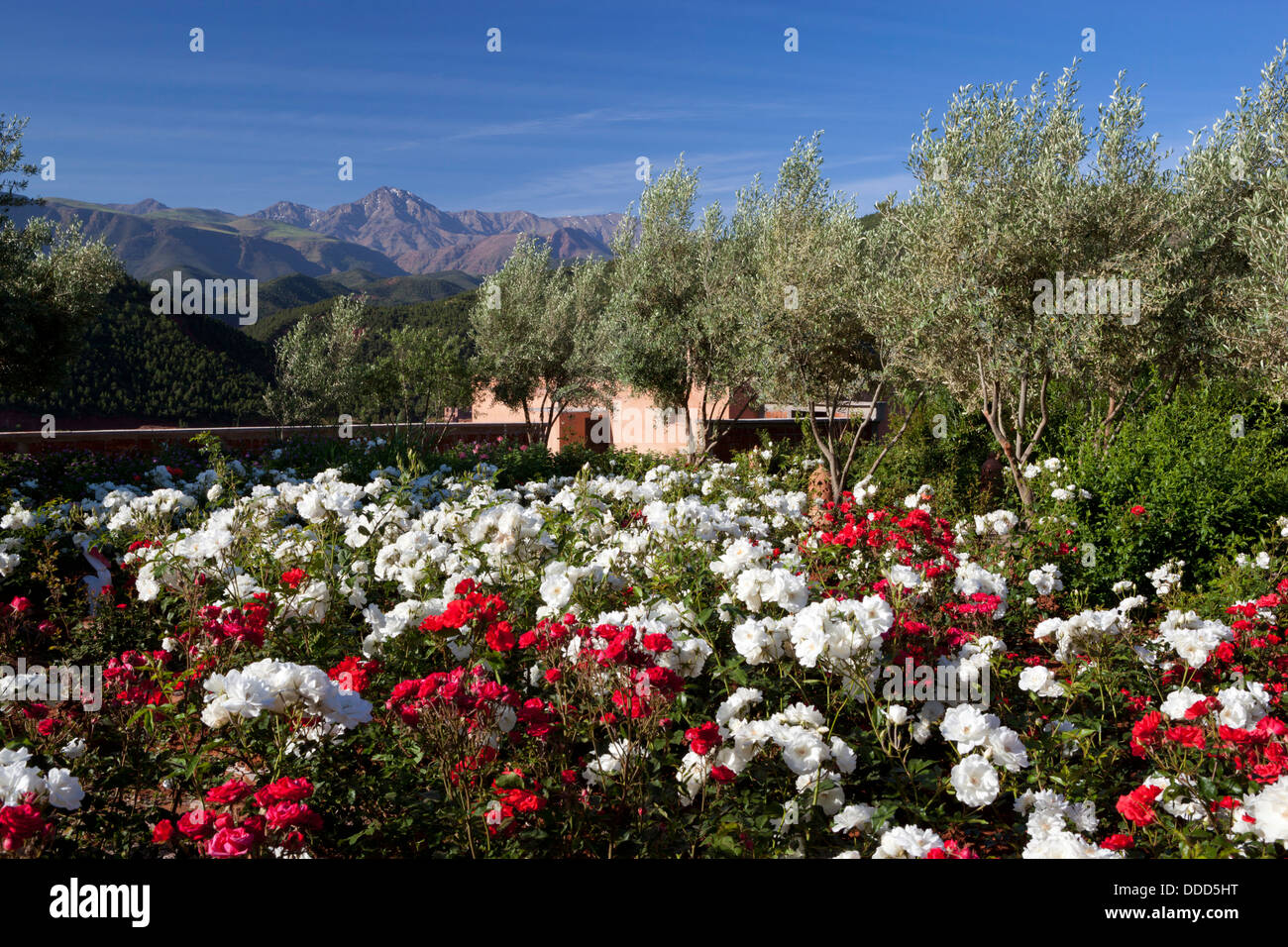 Rose garden at the Kasbah Bab Ourika hotel at the foot of the Atlas mountains - Stock Image