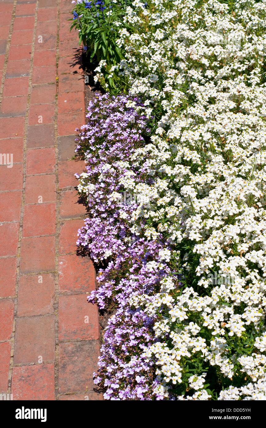 Summer Border With Nemesia Poetry White And Lobelia Erinus