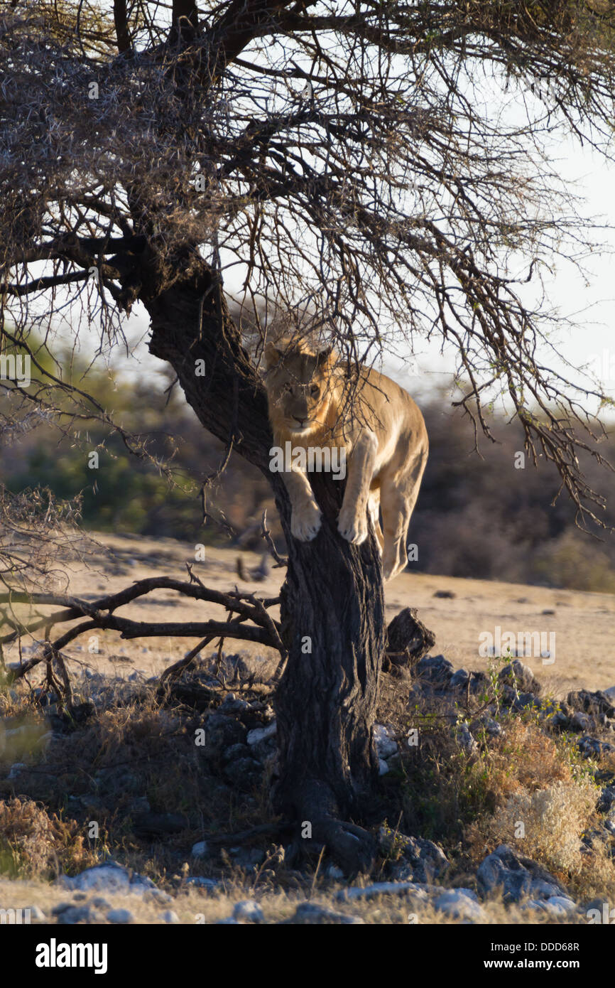A young male lion climbs a tree and watches near Namutoni in the Etosha Park, Namibia - Stock Image