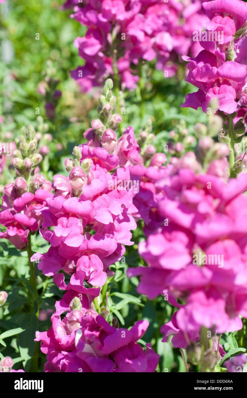 Dragon Flower Stock Photos Dragon Flower Stock Images Alamy